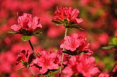 Pink blossing colorful beautiful flowers in spring stock photos