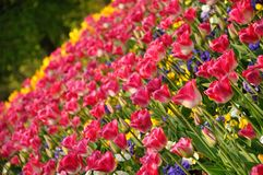 Pink blossing colorful beautiful tulips in spring royalty free stock photos