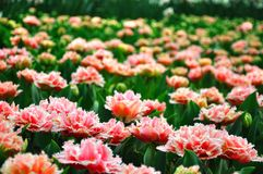 Pink blossing colorful beautiful tulips in spring royalty free stock image
