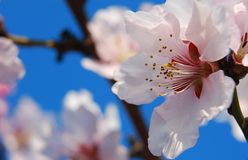 Pink blossom. Pink cherry blossom on blue sky background Stock Image