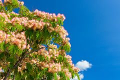 Pink Blossom Acacia Tree Brunches Stock Photo