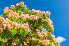 Pink Blossom Acacia Tree Brunches Royalty Free Stock Photos