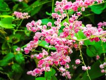 Pink Blossom. Antigonon leptopus is a vine with pink or white flowers Stock Photography