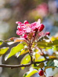 Pink blossom of apple tree close up Royalty Free Stock Photo
