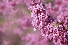 Pink Blossom Royalty Free Stock Photo