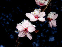Pink blossom Stock Image
