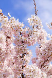 Pink Blossom Branch. Delicate pink spring blossom tree against a blue sky Royalty Free Stock Photography
