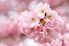 Pink Blossom Branch. A cluster of pink blossom on a branch Royalty Free Stock Image