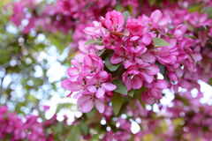 Pink blossom on branch of malus crab apple. Bold pink blossom on branch of malus crab apple tree in spring Stock Photography
