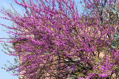 Pink blossom of cercis siliquastrum in Verona Royalty Free Stock Photos