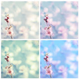 Pink blossom of cherry Stock Photos
