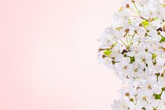 Pink blossom of cherry. Springtime royalty free stock photo