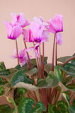 Pink blossom cyclamen Stock Photos
