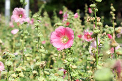 Pink blossom fields Stock Photos