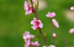 Pink, Blossom, Flower, Branch stock photography