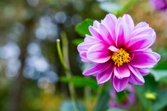 Pink blossom Royalty Free Stock Images