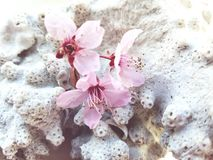 Pink blossom flowers on a background of coral. Three pink blossom tree flowers on a piece of coral Royalty Free Stock Images