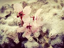 Pink blossom flowers on a background of coral. Three pink blossom tree flowers on a piece of coral Stock Photography