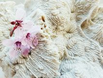 Pink blossom flowers on a background of coral. Three pink blossom tree flowers on a piece of coral Royalty Free Stock Image