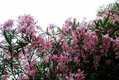 Pink blossom flowers of big bush. Rome Royalty Free Stock Image