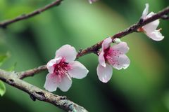 Pink blossom flowers in a branch stock photo