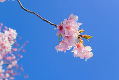 Pink blossom flowers light blue sky Royalty Free Stock Images