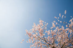 Pink Blossom on Fruit Tree. Pink blossom on cherry tree against bright clear sky, England, UK Stock Image