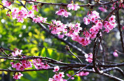 Pink blossom in the garden. A beautiful flowers in Thailand Stock Photography