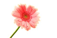 Pink blossom Stock Images