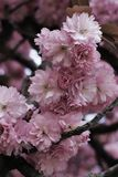 Pink blossom of Japanese cherry. Detail of pink blossom of Japanese cherry on tha branch with few leaves behind blossom stock image