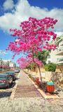Pink blossom of Judas Trees in Israel. Ness Ziona, Israel-March 11, 2018: Row of Judas trees covered with flaming beautiful flowers. Only year-old or older stock images