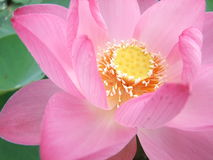 Pink blossom lotus Royalty Free Stock Images