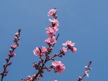 Pink blossom over the  blue sky Stock Image