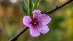 Pink blossom. Peach tree blossom flower, shot with 10x macro filter stock image