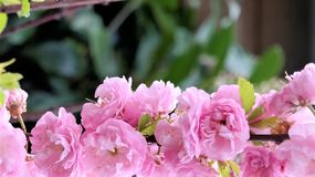 Pink blossom petals from the Prunus serrulata. Pink blossom with text space Royalty Free Stock Images
