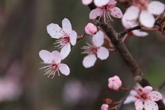 Pink blossom at the prunus Accolade in the spring season. In the city of waddinxveen royalty free stock image
