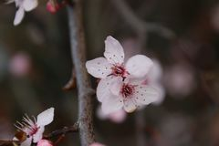 Pink blossom at the prunus Accolade in the spring season. With flowers stock photo
