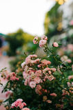 Pink Blossom rose bush in Crimea Stock Images