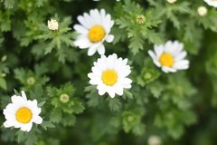Field with white daisies Royalty Free Stock Images