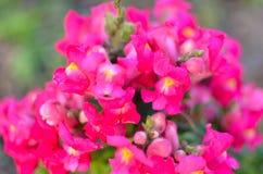 Pink Blossom Snapdragons , Antirrhinum majus, Royalty Free Stock Photography