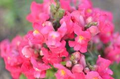 Pink Blossom Snapdragons , Antirrhinum majus, Stock Image