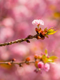 Pink blossom. Soft pink blossom on the stick with blurred backgroung Royalty Free Stock Photos