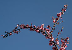 Pink blossom in spring. A small branch with pink blossom in spring, with blue sky in the background Royalty Free Stock Photos