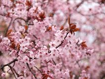 Pink blossom in spring. A close up of pink Prunus Cerasifera Nigra blossom flowering in early spring against a blurred background Royalty Free Stock Photo