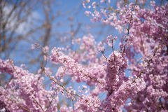 Pink blossom in spring Stock Photo