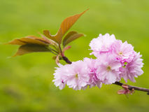 Pink blossom in springtime 3 Royalty Free Stock Image
