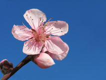 Pink blossom tree. On blue sky stock photos