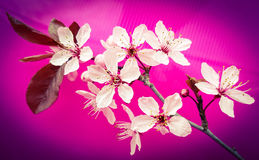 Pink blossom tree branch on bright pink background. Cherry blossom tree branch  on a bright pink background Royalty Free Stock Photo