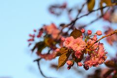 Pink blossom on the tree in early evening light. Pink blossom on the tree in early evening stock image