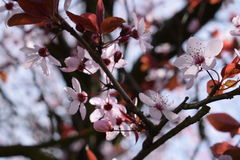 Pink blossom Royalty Free Stock Photography